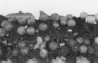 Lee Friedlander - Flowers