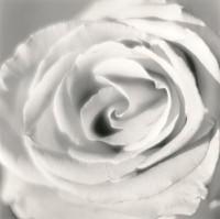 Red Rose, Almafi, Italy, 2005