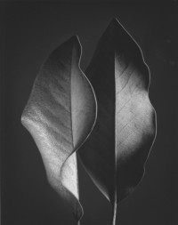 Ruth Bernhard – Two Leaves