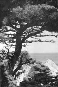 Viola Hawke – Cedar Tree by Coast