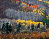 Aspens, Delores River Canyon, Colorado, 1979