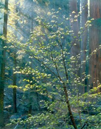 Dogwood, Sequoia, Sequoia National Park, California, 1974
