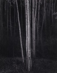 Ansel Adams, Aspens, Northern New Mexico (vertical), 1958