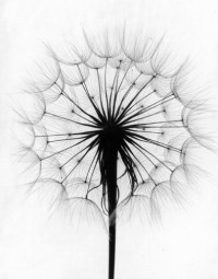 Paul Caponigro, Scot's Thistle, Rochester, New York, 1958