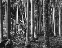 Brett Weston, Florida Palms, 1947