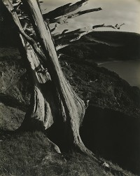Edward Weston, Cypress, Point Lobos, 1930