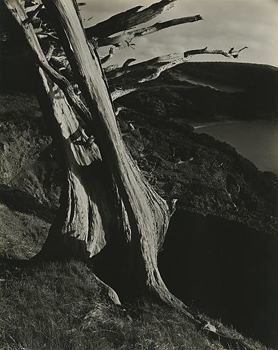 Edward Weston - Cypress, Point Lobos, 1930 - Leonard Joel