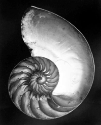 Edward Weston, Chambered Nautilus (Shell), 1927