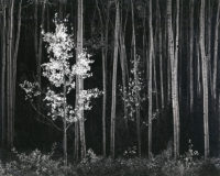 Ansel Adams, Aspens, Northern New Mexico (Horizontal), 1958
