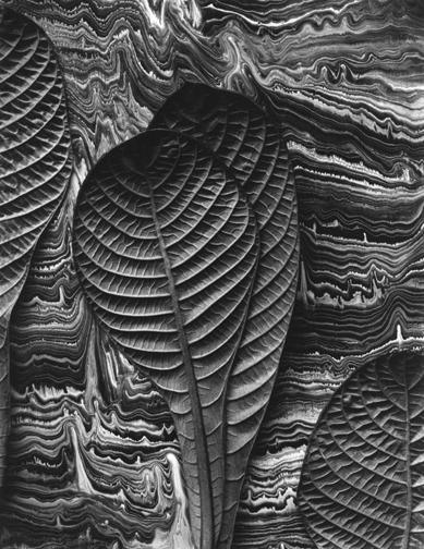 Don Worth, Tropical Leaves, Hoffmannia Reflugens, Mill Valley, CA, 1975