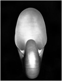 Edward Weston, Shell (I S), 1927