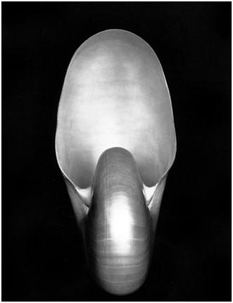 Edward Weston, Shell (I S), 1927