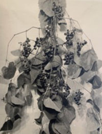 Anonymous, Grapes Apart, with Leaves, c1915