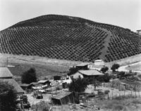Edward Weston, Vineyard, Prunedale Cutoff, 1933
