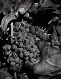 Max Yavno, Hands Cutting Grapes, c1950