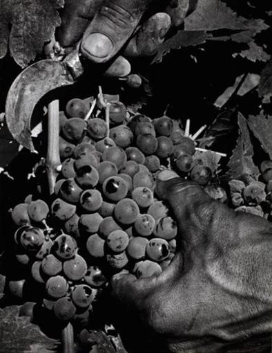 Max Yavno, Hands Cutting Grapes, c1950