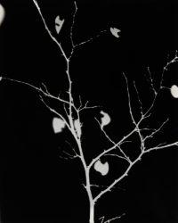 Christopher Woodcock, Cercis occidentalis #3, 2019