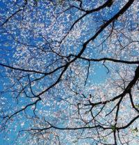Christopher Burkett, White Dogwood Canopy, Kentucky, 2000