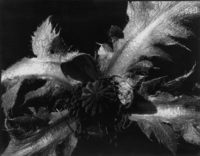 Poppy Leaves and Seedpod, 1938