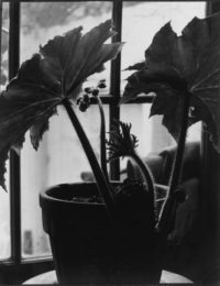 Rex Begonia in Bloom, c1938