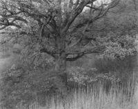 "George Tice, Oak Tree, Holmdel, New Jersey, 1970, Gelatin Silver Print, 11"" x 14"""
