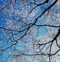 "Christopher Burkett, White Dogwood Canopy, 2000, Cibachrome Print 19-1/2"" x 19-1/2"""
