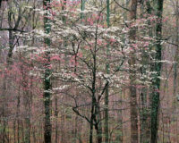 Christopher Burkett, Pink and White Dogwoods, Kentucky, 1991Christopher Burkett, Pink and White Dogwoods, Kentucky, 1991