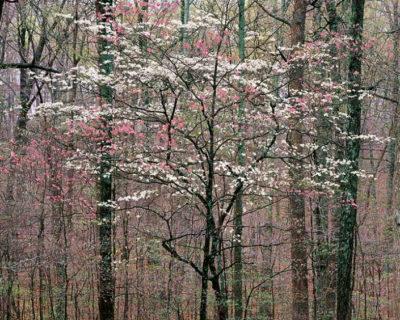 Christopher Burkett, Pink and White Dogwoods, Kentucky, 1991Christopher Burkett, Pink and White Dogwoods, Kentucky, 1991