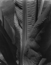 "Imogen Cunningham, Banana Tree, c1929, printed c1950, 14"" x 11"", signed"