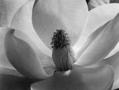 "Imogen Cunningham, Magnolia Blossom, 1925, printed c1950, 11"" x 14"", signed"