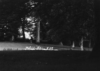 """Paul Caponigro, Standing White Deer, Wicklow, Ireland, 1967, 8"""" x 10"""""""