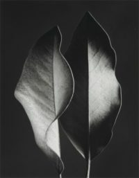 "Ruth Bernhard, Two Leaves, 1952, Gelatin Silver Print, 8"" x 10"""