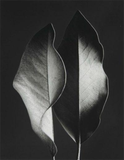 "Ruth Bernhard, Two Leaves, 1952, Gelatin Silver Print, 8"" x 10"""