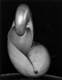 Edward Weston, Two Shells, 1927, printed later by Cole Weston
