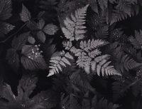 Ansel Adams, Leaves, Mt. Rainier National Park, Washington, 1942