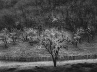 Ansel Adams, Oak Tree, Rain, Sonoma County, CA, 1960