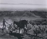 Ansel Adams, Paul Masson Vineyards, 1959