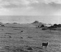 Ansel Adams, Sheep Grazing at Timber Cove, California, 1959