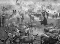 Sebastiao Salgado, Dinka Cattle of Kei, Southern Sudan, 2006