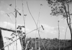 An-My Le, Untitled Gia Lai (Paper Planes in Trees), Viet Nam, 1998